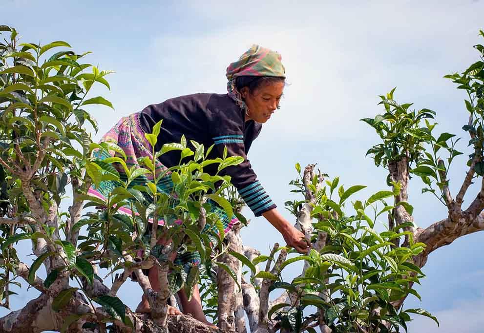 Ancient Shan Tuyet tea in Vietnam